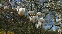 White flowers magnolia x loebneri kache merrill - pan left Stock Footage