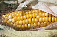 Maize corn harvest crop autumn fall grain food Stock Photos