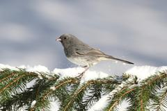 Junco on a snow-covered branch Stock Photos
