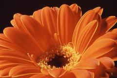 flower summer spring nature gerbera plant botany - stock photo