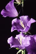 Kellokukka plant kasvitiede kukka nature kukinta Kuvituskuvat