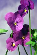 pansies plant botany flower nature bloom green - stock photo