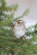 Sparrow in a spruce tree Stock Photos