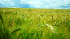 Green wheat field landscape with blue sky. Wheat ear in field on sky background Stock Footage