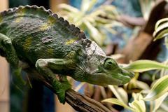 design chameleon animal reptile accessory aspect - stock photo