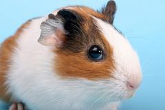 hamster animal rodent portrait headshot - stock photo