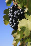 Stock Photo of wine vintage autumn harvest grape gathering