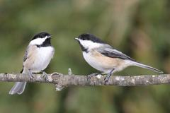 pair of birds on a branch - stock photo