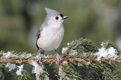 titmouse on a snow-covered branch - stock photo
