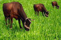 Bell brown browse cow curiosity curious grass Stock Photos