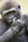 Ape closeup face finger hair hand human strong Stock Photos