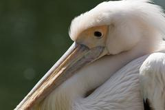 fish beak big eye feather fishing hunter pelican - stock photo