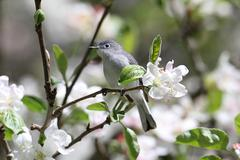 blue-gray gnatcatcher - stock photo