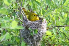 Yellow warbler in a nest Stock Photos