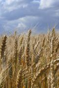 Food corn field europe gold golden landscape Stock Photos