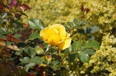 Rose yellow Stock Photos