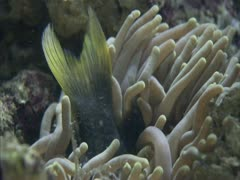 A sea anemone eating a fish - stock footage