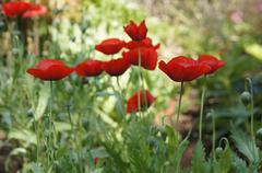 California poppy closeUp - stock photo