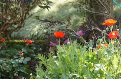 flower red California poppy - stock photo