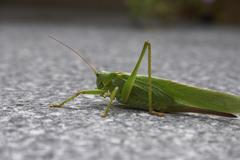 Green locust animal insect component depict Stock Photos