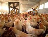 Background crown fan farm animal herd horizontal Stock Photos
