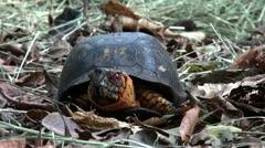 Box turtle Stock Footage