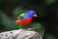 Colorful painted bunting (passerina ciris) Stock Photos