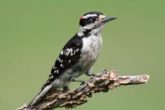 downy woodpecker (picoides pubescens) - stock photo