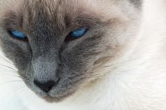 Cat face blue evil eye wild sinister siamese Stock Photos