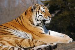 cat winter carnivore fur predator sleep strong - stock photo