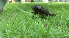 Annual Black Asia Cicada- Close up Stock Footage