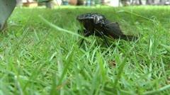 Annual Black Asia Cicada- Close up Stock Footage