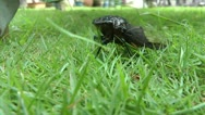 Stock Video Footage of Annual Black Asia Cicada- Close up