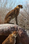 Cat winter african look runner speed wild zoo Stock Photos