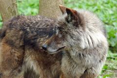 brown carnivore fur grey predator timber wild - stock photo