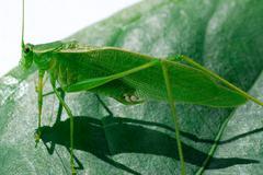 Urheilu lehtiä bug bush call naamiointi kriketti piilota Kuvituskuvat