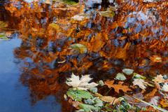 Abstract water tree leaf acer autumn blow float Stock Photos