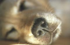 Dog golden retriever pet relax smell whelp lip Stock Photos