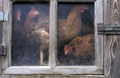 house biological livestock husbandry hens window - stock photo