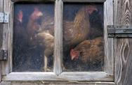 Stock Photo of house biological livestock husbandry hens window