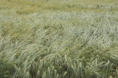 food field spike corn grain nutriment nutrition - stock photo