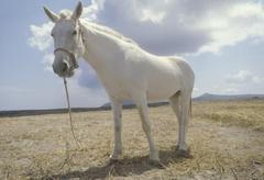 Stock Photo of farm animal mammal mule pasture greece santorin