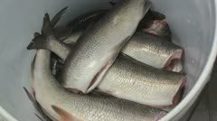 Clean fish in the bucket Stock Footage