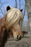 Sport horse riding iceland ouple animal mammal Stock Photos