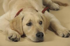 Koira kultainen noutaja pet whelp nuorten eläinten Kuvituskuvat