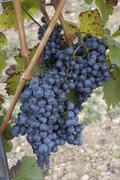 wine grape vine red autumn nieder sterreich - stock photo