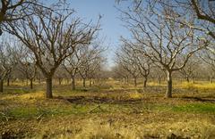 pistachio tree farm in winter - stock photo
