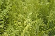Stock Photo of nature leaf botany fern green outdoor or garden
