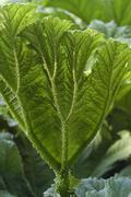 Leaf big botany giant rhubarb gunnera tinctoria Stock Photos
