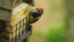 Yellow-bellied Sapsucker Stock Footage